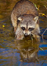 Wild Raccoon Stock Photography