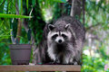 Wild raccoon looking at viewer a large is standing on a plank beside a plant Royalty Free Stock Images