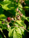 Wild raspberries rubus idaeus through the forest Stock Photography