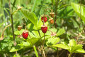 Wild raspberry grows in grass tasty ripe strawberry fruits green close up Stock Photography