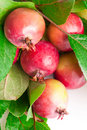 Wild red apples fruit Stock Images