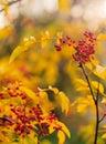 Wild red berries in autumn