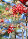 Wild red berry fruits with leaves in autumn Stock Photo