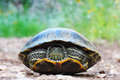 Wild red eared slider turtle Royalty Free Stock Photo