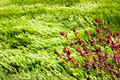 Wild red flowers on a background of wheat fields of emerald green in the Himalayan mountains. Nepal. Marfa Village Royalty Free Stock Photo