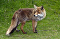 Wild red fox Stock Photo
