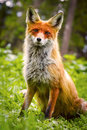 Wild red fox in green grass with flowers Stock Photography