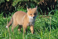 Wild Red Fox Kit Royalty Free Stock Photography