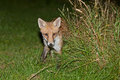 Wild red fox night scene of a prowls while looking for a prey on green grass Royalty Free Stock Photography