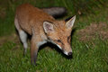 Wild red fox night scene of a prowls while looking for a prey on green grass Stock Photography