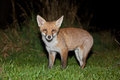 Wild red fox night scene of a prowls while looking for a prey on green grass Stock Image
