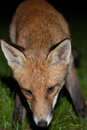 Wild red fox night scene of a prowls while looking for a prey on green grass Royalty Free Stock Photos