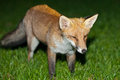 Wild red fox night scene of a prowls while looking for a prey on green grass Royalty Free Stock Images