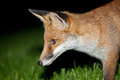 Wild red fox night scene of a prowls while looking for a prey on green grass Stock Images