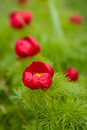 Wild red piones are blooming close up Royalty Free Stock Photo