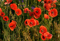 Wild red poppies Royalty Free Stock Photos