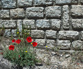 Wild red poppies on a background of an old stone wall Royalty Free Stock Photos