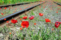 Wild red poppies near railway Stock Photo