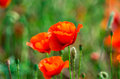 Wild red poppy on wind one in focus and two soft poppies in motion green wilderness field with blurred green grass background Royalty Free Stock Images