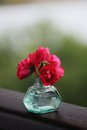 Wild red roses in turquoise glass vase with rain drops Royalty Free Stock Photo