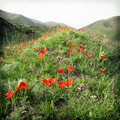 Wild red tulips in the spring Royalty Free Stock Photo