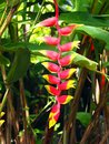 Wild red and yellow Palulu plant Heliconia flower in tropical Suriname South-America