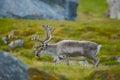 Wild Reindeer, Rangifer tarandus, with massive antlers in the green grass, Svalbard, Norway. Svalbard deer on the meadow in Royalty Free Stock Photo