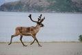 Wild reindeer running, Scandinavia Royalty Free Stock Image