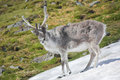 Wild reindeer on the snow - Spitsbergen Royalty Free Stock Photos