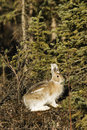 Wild relative of the bunny - showshoe hare Royalty Free Stock Photo