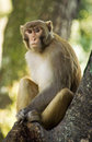 Wild Rhesus Monkey Stock Photos