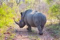 Wild rhino and African landscape in Kruger Park in UAR