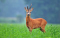 Wild roe deer Royalty Free Stock Photo