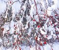 Wild rose bush with red berries covered with snow