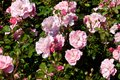 Wild rose bushes with pink flowers and dark green leafs