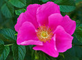 Wild rose flower Stock Photo