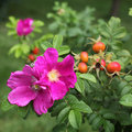 Wild rose flowers fruits Stock Photo