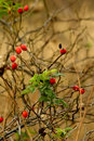 Wild rose hips Royalty Free Stock Photos