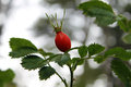 Wild rose hips close up of a hip berry Royalty Free Stock Images