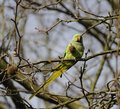 Wild rose ringed parakeet Stock Images
