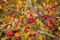 Wild Rosehips In Nature, Beaut...