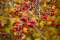 Wild rosehips in nature, beautiful background Royalty Free Stock Photo