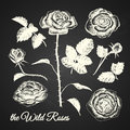 The wild roses illustration hand drawn of flowers elements on chalkboard background Royalty Free Stock Images