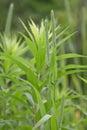 Wild Rye Prairie Grass Royalty Free Stock Photo