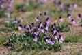 Wild Sagebrush Violets Royalty Free Stock Photo