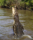 Wild saltwater crocodile jumping, Australia Royalty Free Stock Image