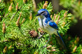 Wild Scrub Jay Royalty Free Stock Photography