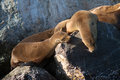 Wild sea lions Royalty Free Stock Photo