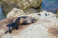 Wild seals Royalty Free Stock Photo
