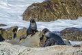 Wild seals Royalty Free Stock Photo